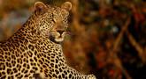 Soyez audacieux dans votre Judaïsme, comme le léopard !