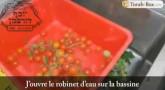 Le nettoyage des tomates cerise d'après la Halakha